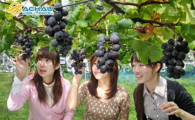 Đắm chìm trong vườn trái cây tươi ở tỉnh Ibaraki – Nhật Bản 4