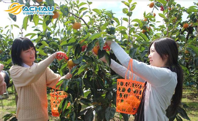 Đắm chìm trong vườn trái cây tươi ở tỉnh Ibaraki – Nhật Bản 3
