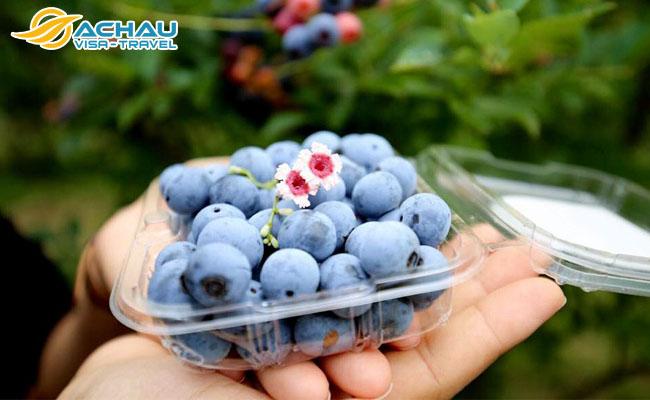 Đắm chìm trong vườn trái cây tươi ở tỉnh Ibaraki – Nhật Bản 2