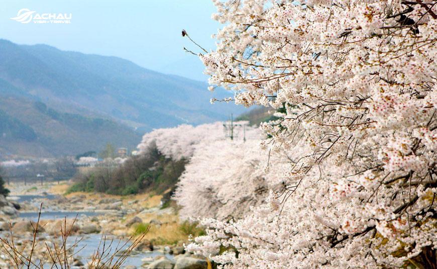 lễ hội hoa anh đào Hàn Quốc 3