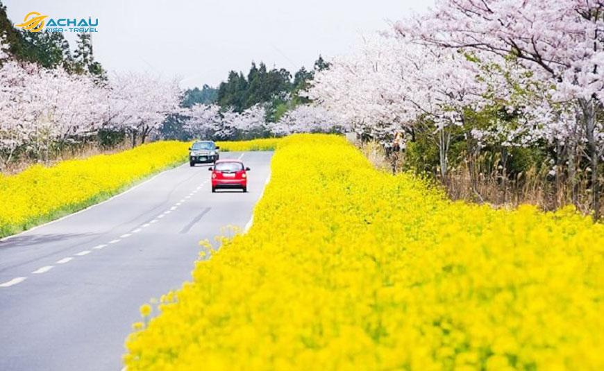 lễ hội hoa anh đào Hàn Quốc 1