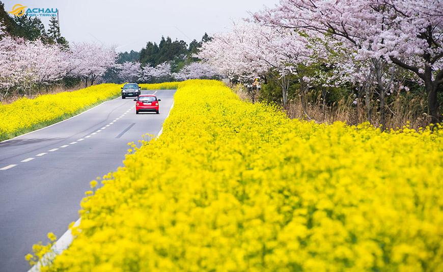 sắc xuân trên đảo Jeju 1