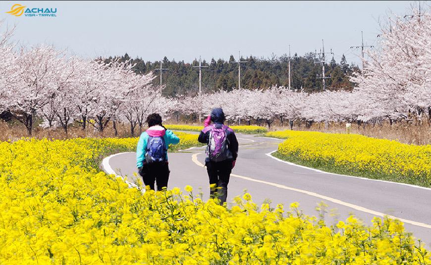 sắc xuân trên đảo Jeju